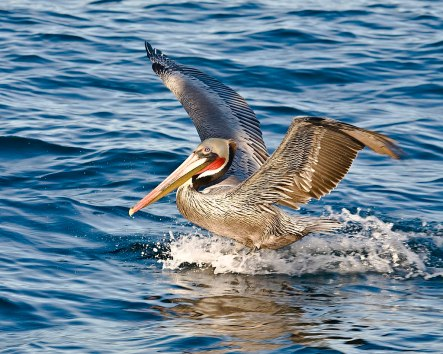 Brown_Pelican,_Pelagic_Boat_Trip