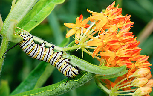Monarch_caterpillar_(Danaus_plexippus)_on_Asclepias_tuberosa_(butterfly_milkweed)_(2284495213)
