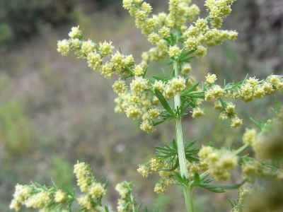 Artemisia annua o 'sweet wormwood' (alienplantsofbelgium.be)