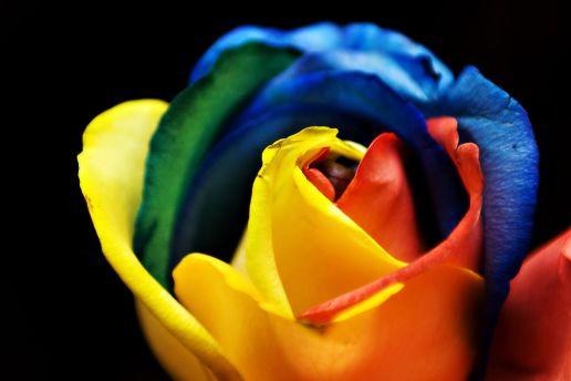 1024px-Rainbow_Rose_(3366550029)