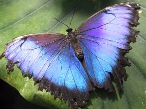 Hunawihr-morpho-butterfly