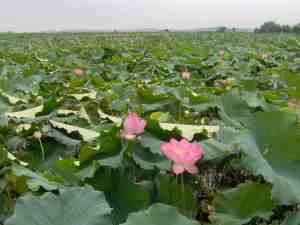 Lotus_Fieldwiki