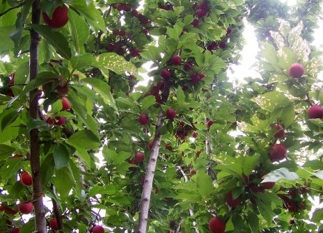 800px-Plum_tree_with_fruit