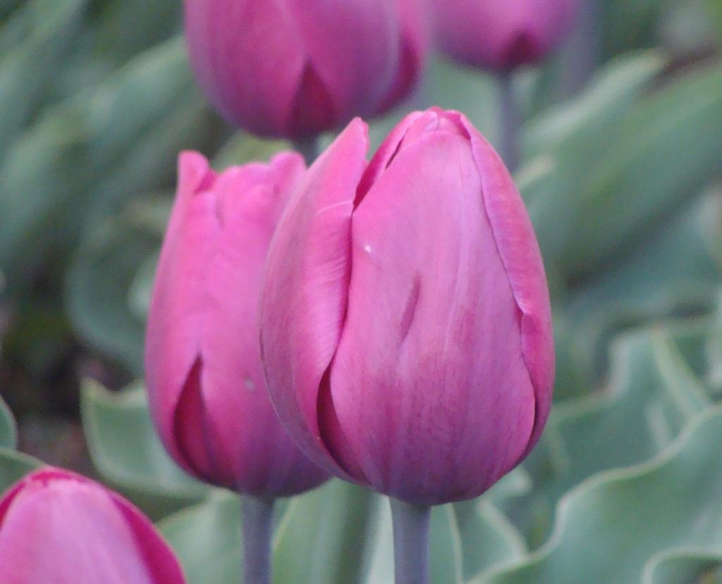 Indhira_Gandhi_Memorial_Tulip_Garden_Srinagar