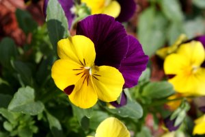 Viola_tricolor_pansy_flower_close_up