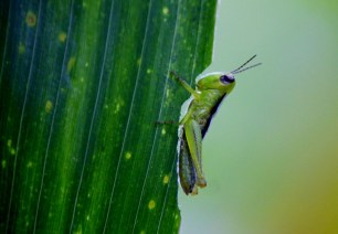 Grasshopper_eating_the_maize_leaf