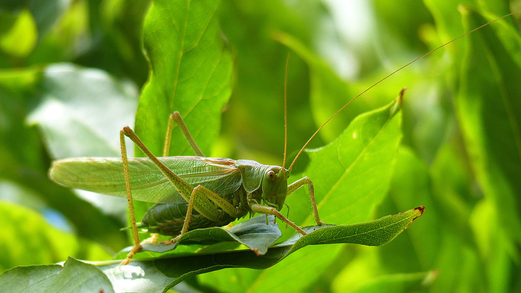 Great_Green_Bush-Cricket.Grünes_Heupferd_(Tettigonia_viridissima)