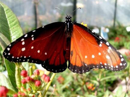 Queen_Butterfly