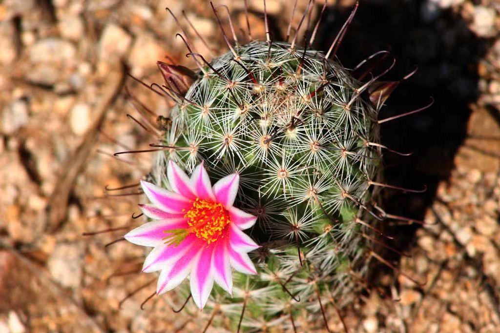 Mammillaria_grahamii_-_Arizona_Desert_Cactus_Flower_(210234767)
