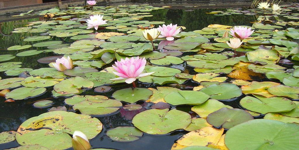 1024px-Fleurs-lotus