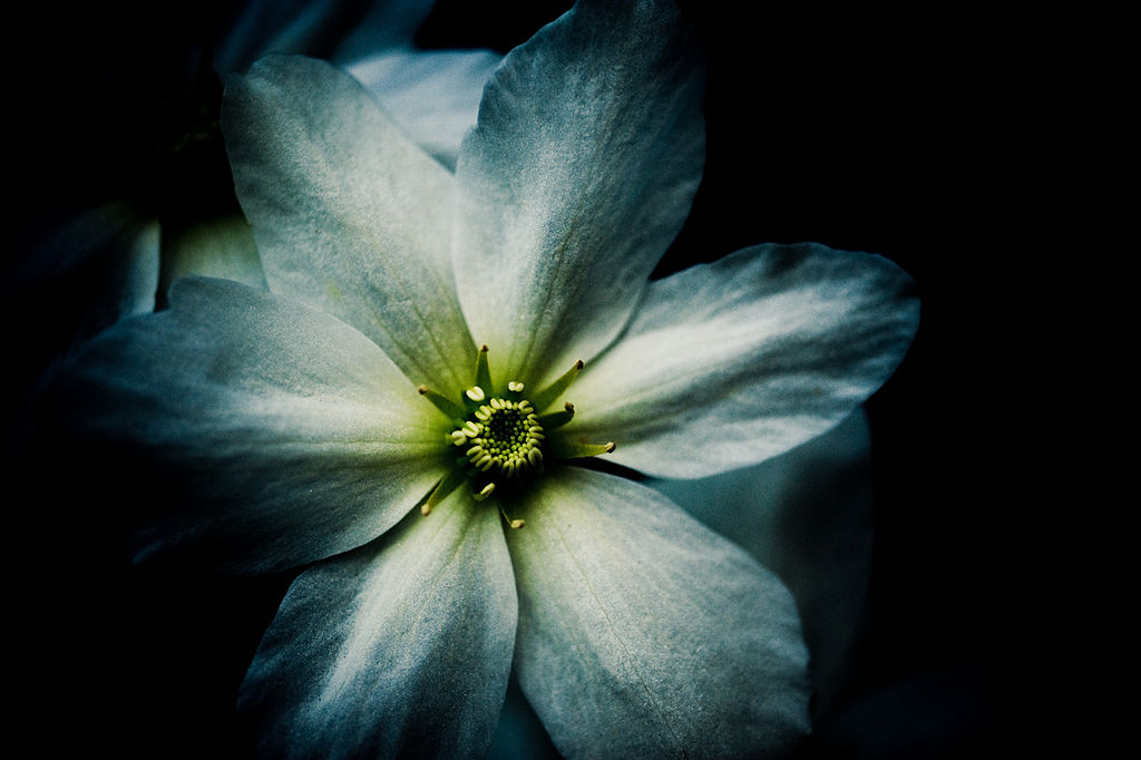 1024px-Soft_white_beautiful_bloom